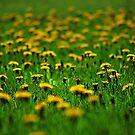 Dandelion Field by Sheri Nye