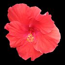 Peach Hibiscus Beauty on Black by Debbie Robbins