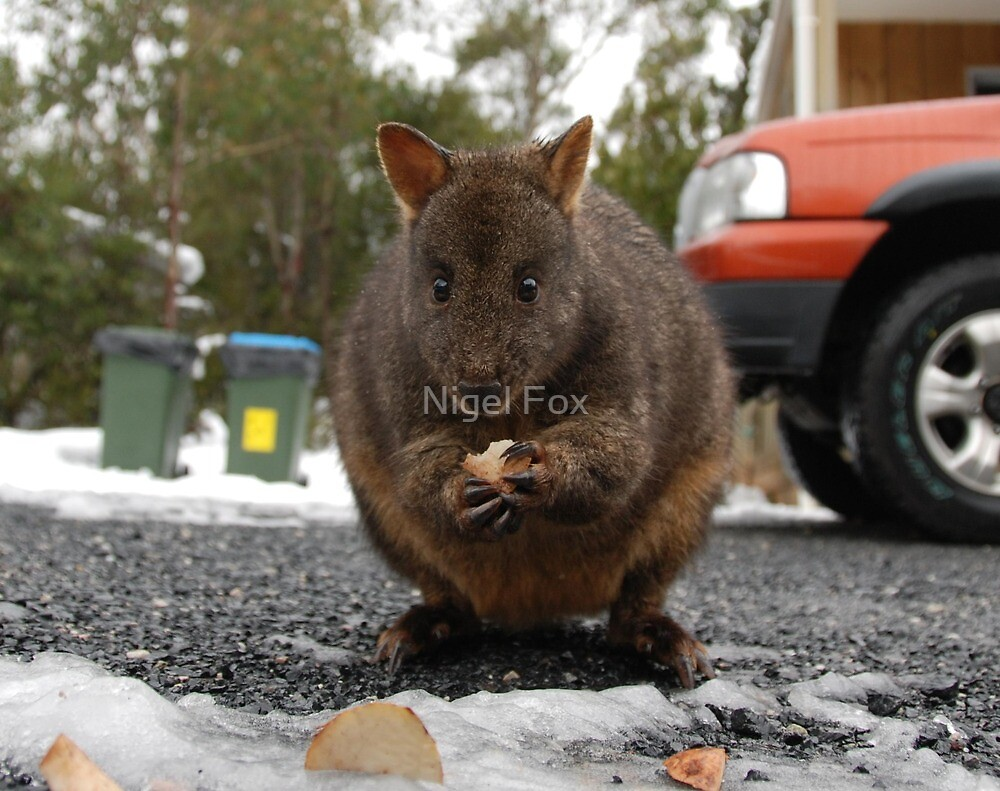 Pademelon Eating (pronounced Paddy Melon) By Nigel Fox