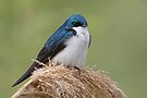 Tree Swallow by WorldDesign