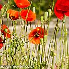 Wild poppies from the meadow flowers bywhacky  by bywhacky