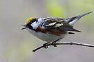 Chestnut-sided Warbler Singing by WorldDesign