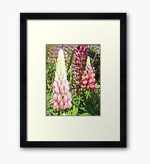 Cottage Garden Lupin Framed Print