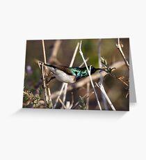 White Bellied Sunbird taken in Zimbabwe Greeting Card