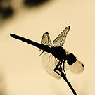 Dragonfly Silhouette  by Alison M