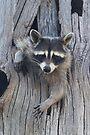 Raccoon Stuck in a Tree by WorldDesign