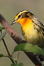 Blackburnian Warbler  by WorldDesign