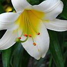 lilium regale by Dale Lockridge
