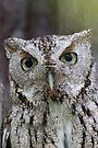 Grey Screech Owl Portrait by WorldDesign