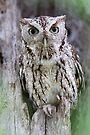 Grey Screech Owl by WorldDesign
