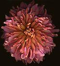 Coral-Colored Dahlia by Barbara Wyeth