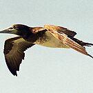 Brown Booby Bird in flight - Hervey Bay, Queensland by Bev Pascoe
