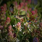 Plight of the Hummingbird by Robert C Richmond
