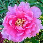 Rosa Schönheit von Shulie1