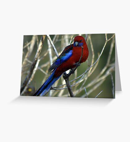 Crimson Rosella Greeting Card