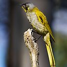 Yellow Throated Honeyeater by Mike Calder