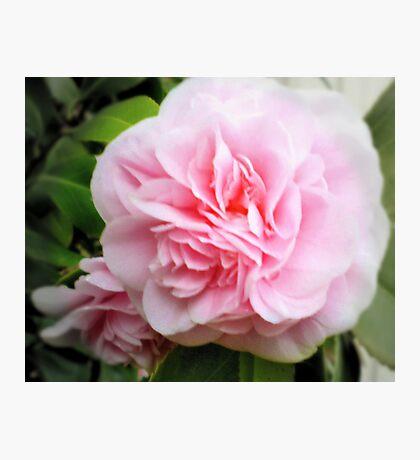 Pink Camelia - Garden Beauty Photographic Print
