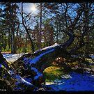 Fallen Tree HDR by busidophoto