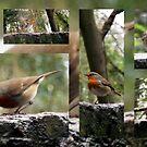 Robin red breast by technochick