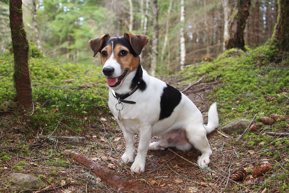 Toby in the Black Wood of Rannoch by Paul  Gibb