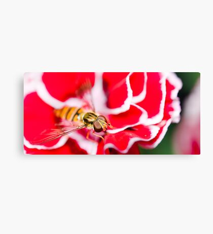 Hover fly on carnation Canvas Print