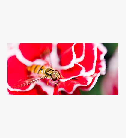 Hover fly on carnation Photographic Print