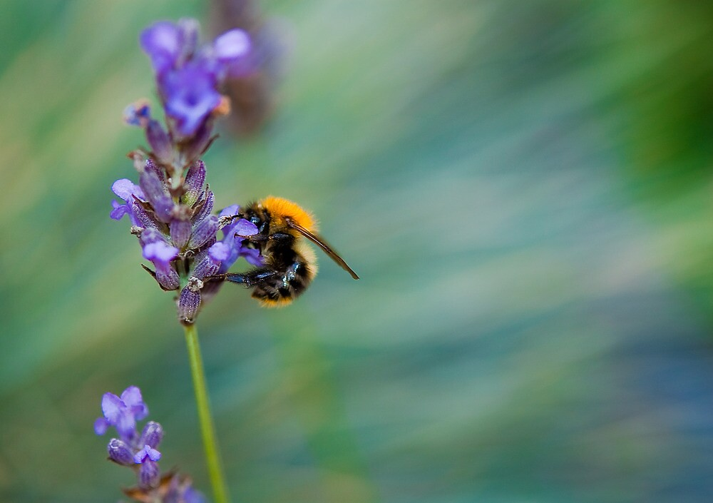 Bumble Bee on Lavender  by Thomas Tolkien