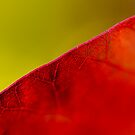 Smoke bush leaf study by Thomas Tolkien