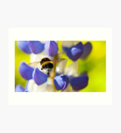 Bumble Bee on Lupin Art Print