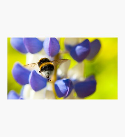 Bumble Bee on Lupin Photographic Print