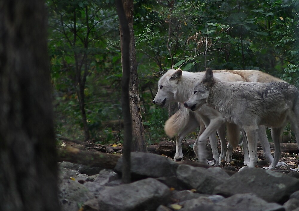 Timber wolves by monaszoo