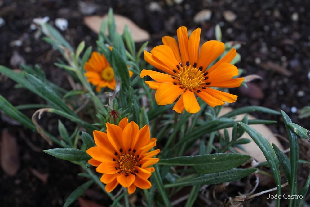 Orange flower 2810 by João Castro