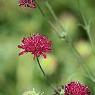 crimson blooms by pallyduck