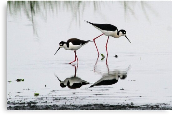 Black necked Stilts with reflection(My reflection is better than yours!) by Anthony Goldman