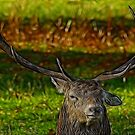 Stag by Trevor Kersley