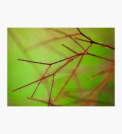 Smoke bush detail Photographic Print