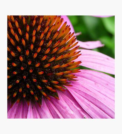 Pink Coneflower (Echinacea Purpurea Magnus) Photographic Print