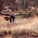 Wedge-Tailed Eagle Landing by robcaddy