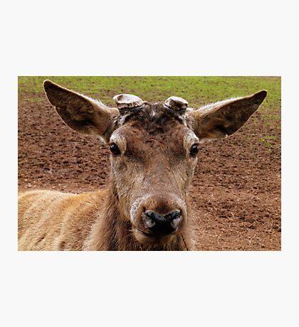 Doe, A Deer, A Female Deer Photographic Print