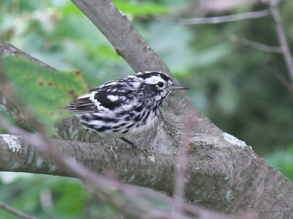 Black and White Warbler - Mniotilta varia. Male. by Tracy Wazny