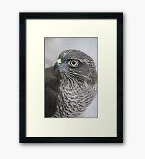 Sparrowhawk 'Buffy' Framed Print