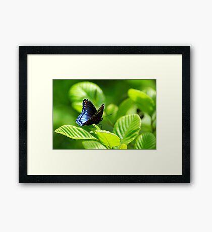 Red-spotted Purple Butterfly (Limenitis arthemis) - Pennsylvania, USA Framed Print