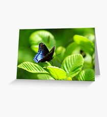 Red-spotted Purple Butterfly (Limenitis arthemis) - Pennsylvania, USA Greeting Card