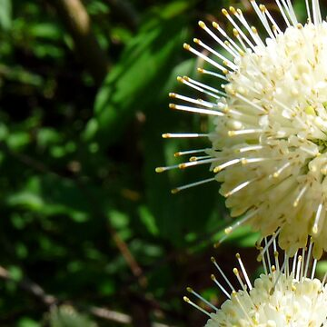Buttonbush - Cephalanthus occidentalis by OutdoorAddix