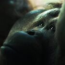 Orangutan by KatsEyePhoto