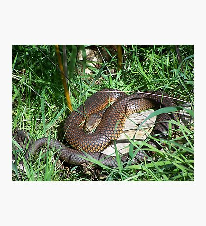Copperhead Snake Photographic Print