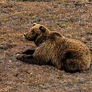 Grizzly Bear II by akaurora