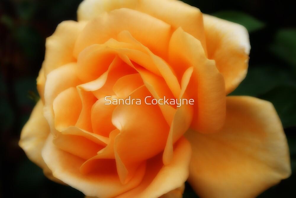 Golden Peach Rose ~ The Orton Effect ~ by Sandra Cockayne
