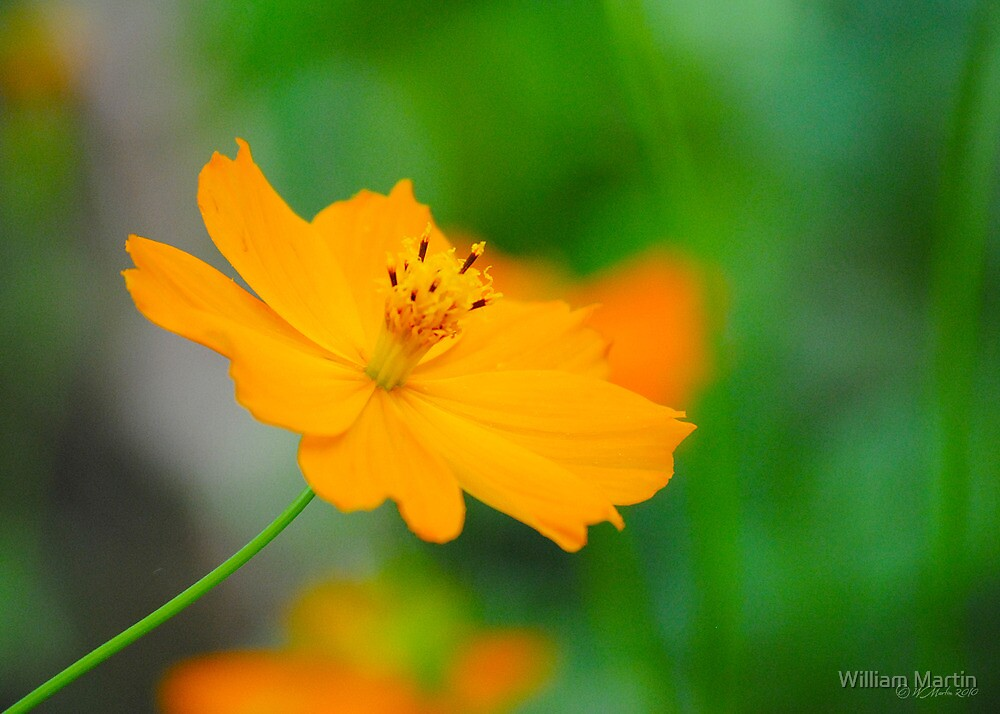 Morning Flower by William Martin