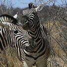 Zebra Romance by naturalnomad